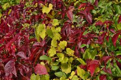 A triad of fall colour. In early fall one sees such contrast between leaves that have changed and those still green as in a yellow vine on red dogwood in Humber Royalty Free Stock Photo