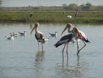 The Triad. Three Pink Flamingos, very lazily going about their work, no tourists and boats can disturb these magnificent birds Stock Image