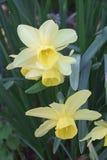 Triandrus dafodil flowers Stock Photography
