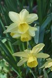 Triandrus dafodil flowers Stock Image