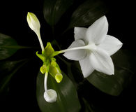 Triangle of amazon lily blooms. Amazon lily blossoming, top view, black background with dark-green foliage stock image