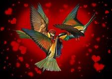 Triangle amoureux des oiseaux combattant sur le fond noir des coeurs Photo stock