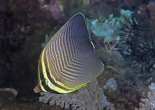 Triangle butterflyfish Stock Photo