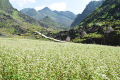 Triangle flower at ha giang province Stock Image