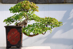 Triangle maple Bonsai Stock Image