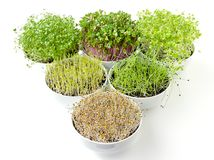 Triangle of microgreens and sprouts in white bowls royalty free stock photography