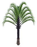 Triangle palm tree, dypsis decaryi - 3D render Stock Image
