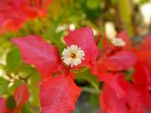 Triangle plum. Red Triangle plum,bougainvillea,Bougainvillea spectabilis Willd Royalty Free Stock Photography