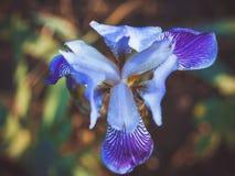 Triangular purple iris bud Stock Photography