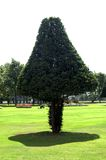 Triangular tree. A special shaped tree with a shadow in the gardens of Hampton Court royalty free stock photography