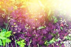 Triangularis de Oxalis Trébol púrpura, planta del amor Mostrando a la púrpura oscura de hojas qué forma triangular y arreglado en Fotos de archivo libres de regalías