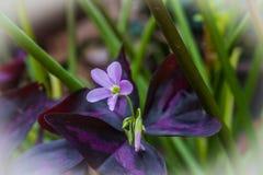 Triangularis di oxalis, comunemente chiamati fiore falso dell'acetosella Fotografia Stock Libera da Diritti