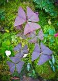 Triangularis di oxalis o acetosella falsa Fotografie Stock