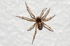 Triangulate Cobweb Spider, Steatoda triangulosa Royalty Free Stock Photo