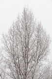 Trianlge shaped detailed tree covered with snow and ice. Over the grey sky Royalty Free Stock Photography
