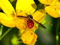 Triarcuatum de Chrysotoxum en cortusifolius del ranúnculo de las flores salvajes Fotos de archivo libres de regalías