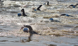 Triathlon swimmers in the river Ouse Royalty Free Stock Image