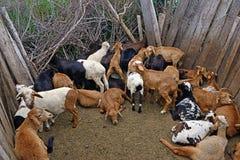 Tribù dei masai delle pecore Fotografie Stock