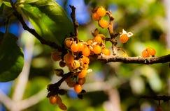 Tribal fruit Stock Photography