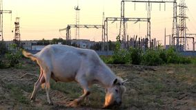Tribal goat eats grass. The pedigree goat on the field is eating grass, in the background we see the towers of the lines of electro transfer stock video footage