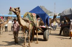 Tribal nomad cameleer taking part at famous camel fair in hindu holy town Pushkar ,India Stock Photo