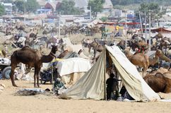 Tribal people are preparing to cattle fair in nomadic camp, camel mela in Pushkar ,India Stock Photos