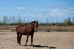Horses on a spring walk in the field. Tribal spotted horse on a spring walk in the field stock photo