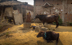 A tribal woman in the process of feeding her cattle at a rural village. Stock Photography