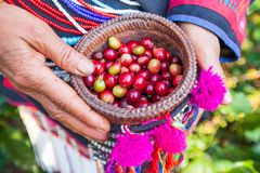 Tribe Akha Agriculturist harvesting arabica coffee berries in or. Ganic farm. Fresh coffee beans in beautiful wicker basket with hands. Akha village, Chiang Rai royalty free stock image