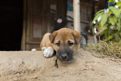 The tribe dog. A saad tribe dog in thailand Royalty Free Stock Photography
