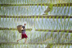 Tribe. S on rice fields in the morning, in beautiful costume dress,farmer grow rice in the rainy season,asian farmers grow rice in the rice field,Traditional royalty free stock photography