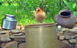 Tribe village hen. Detail of tribe village hen with the traditional pot on garden Royalty Free Stock Images
