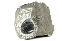 Tribolite Images stock