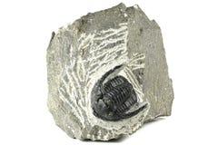 Trilobite Royalty Free Stock Photography