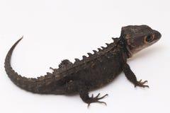 Free Tribolonotus Gracilis, Red-Eyed Crocodile Skinks Lizard Stock Images - 154353084