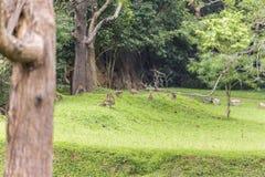 Tribu de singe dans Sigiriya Sri Lanka Images stock
