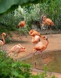 Tribu-flamenco en el lado del charca-Phoenicopteridae Fotografía de archivo libre de regalías