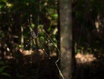Tribulación del cabo, Queensland Australia, 06/10/2013, arácnido de oro de la araña del orbe, colgando en un web en un bosque tro Fotos de archivo libres de regalías