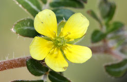 Tribulus terrestris, caltrop, puncture vine. Prostrate herb with pinnate compound leaves, yellow flowers and hard fruit with four sharp spines Royalty Free Stock Photo