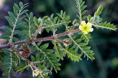 Tribulus terrestris, caltrop, puncture vine. Prostrate herb with pinnate compound leaves, yellow flowers and hard fruit with four sharp spines Royalty Free Stock Image