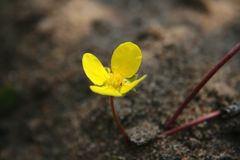 Tribulus Terrestris flower on beach. Tribulus Terrestris on beach. Yellow colorful flower in the summer Stock Photo