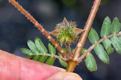 Tribulus terrestris, kotewka, dziurawienie winograd zdjęcie royalty free