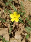 Tribulus terrestris. Still harmless still it dries out Stock Images