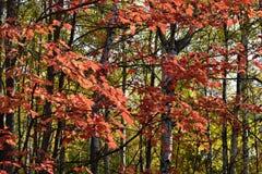 Tribune van bomen met dalingsgebladerte Stock Foto's