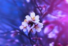 Tribune van de lente de fantastische bloeiende bloemen uit op een tak Dramati Royalty-vrije Stock Afbeeldingen