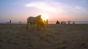 Tribune van twee de jonge gebocheldestieren op zandige kust van de Indische Oceaan bij zonsondergang Zeboekoeien op de achtergron stock footage