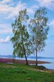 Tribune van twee de lange berkbomen bij de eigenlijke rand van het meer Meer Svityaz Volyngebied ukraine Royalty-vrije Stock Afbeeldingen