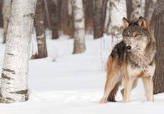 Tribunes de grijze van de Wolf (wolfszweer Canis) tussen Bomen stock afbeelding