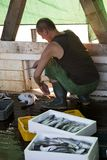 Fisherman gutting a fish on a deck of a trawler boat stock image