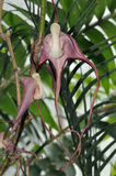 Tricaudata Aristolochia Στοκ φωτογραφίες με δικαίωμα ελεύθερης χρήσης